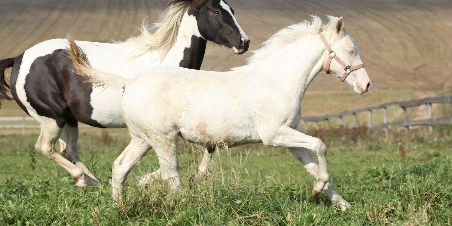 yegua albina cabalgando