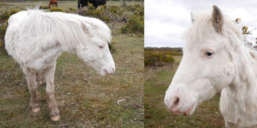 Origen de como nace un caballo albino