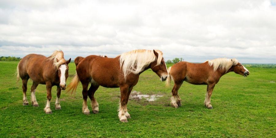 Los caballos belgas fueron muy destacado en la historia por su fuerza de arrastre