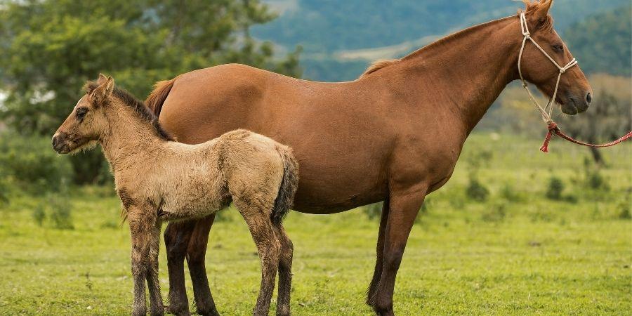 Conocer bien a tu yegua o potro criollo es vital para su cuidado, aunque sea un caballo muy fuerte es igual necesario cuidar de el