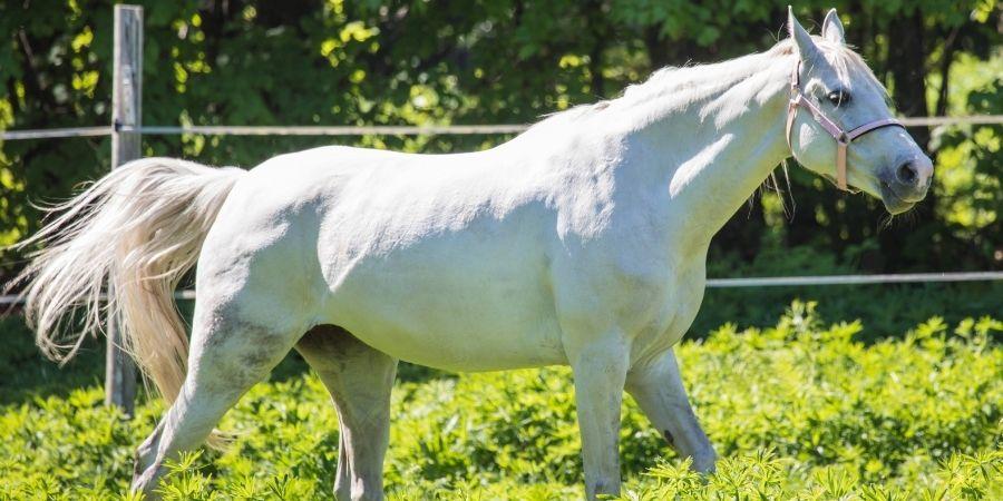 Yegua hannoveriana blanca cabalgando