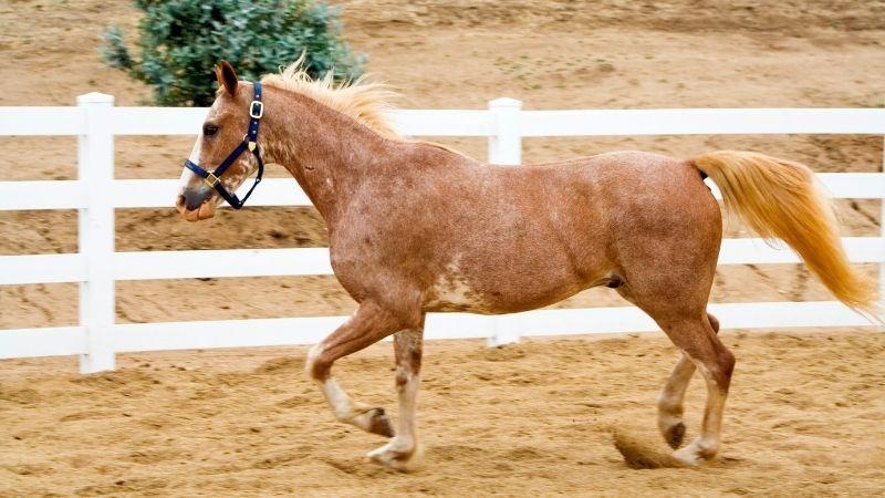 caballo bayo ruano