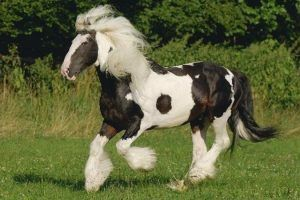 caballo cob de irlanda dublin