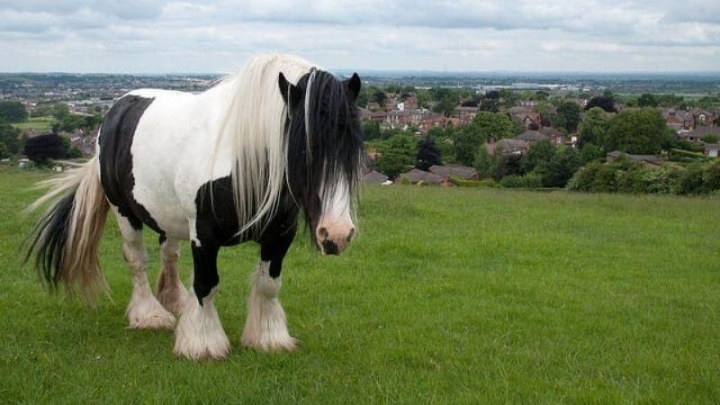 caballo cob irlanda