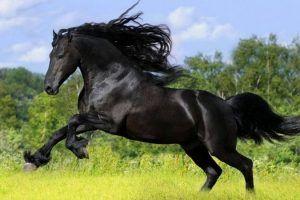 caballo frison