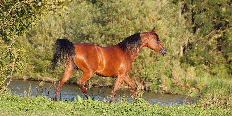 caracteristicas de los caballos arabes