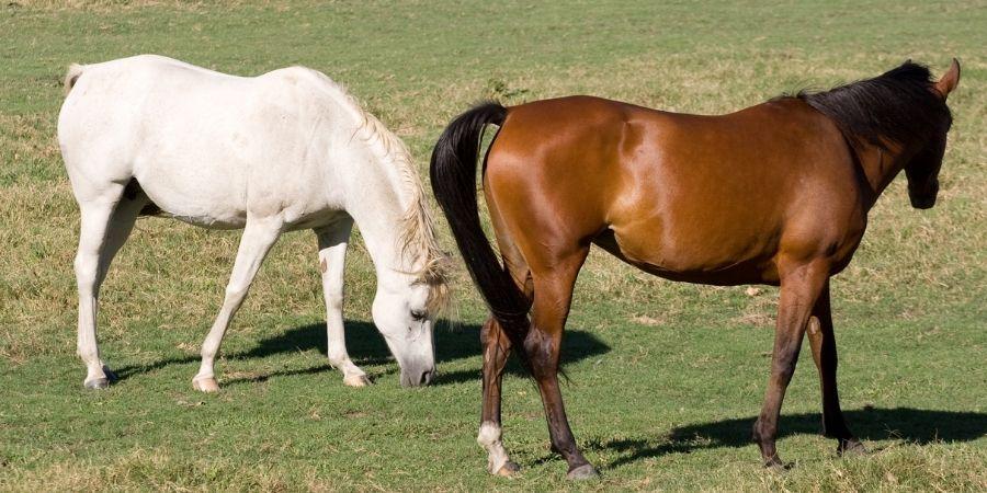 ejemplares de caballos arabes