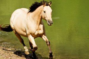 caballos cuarto de milla