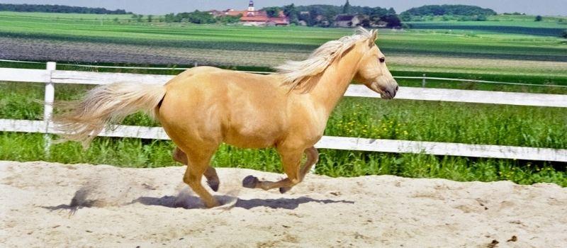 caballos bayo cuarto de milla
