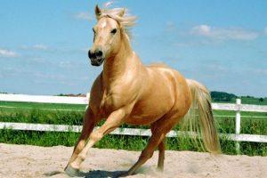 raza de caballos cuartos milla