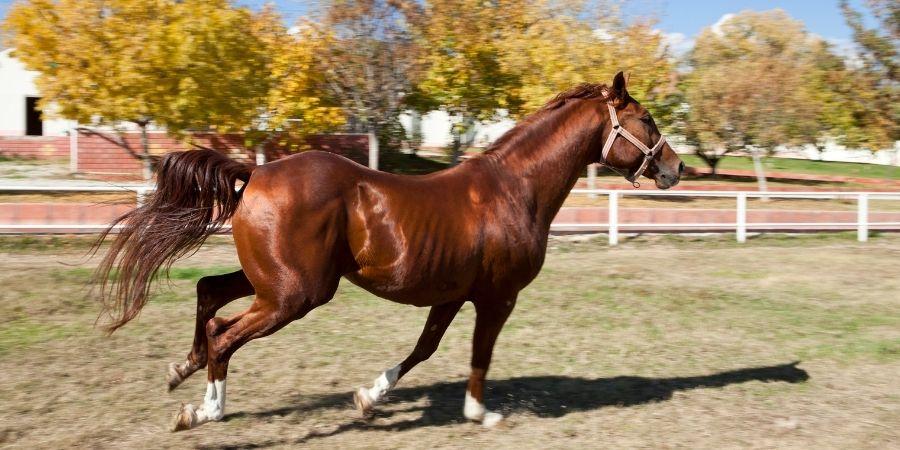 caballos garañones