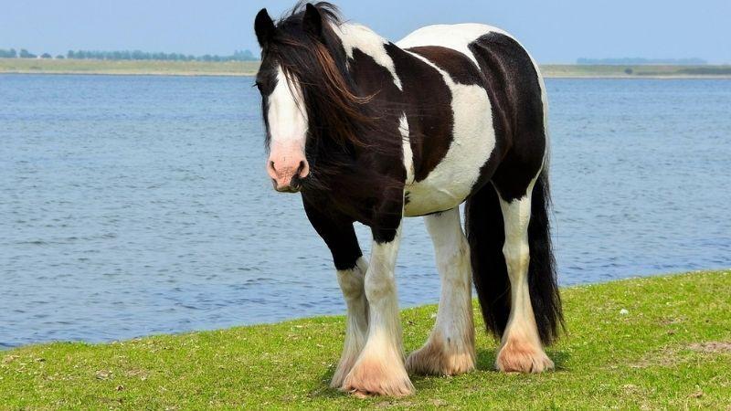 caballo irish cob