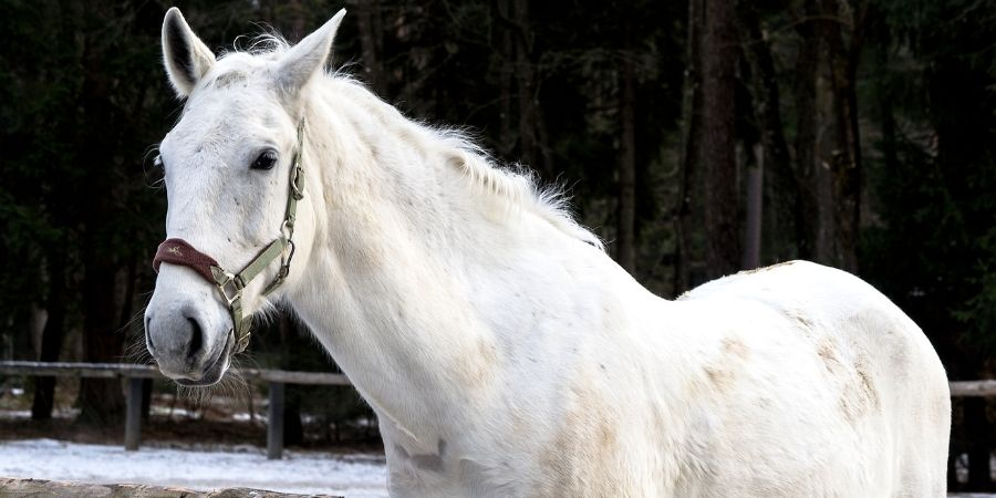 caballos lippizanos blancos