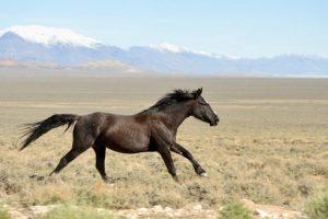 ejemplares de caballos mustang