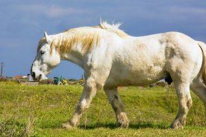 raza de caballos percherones