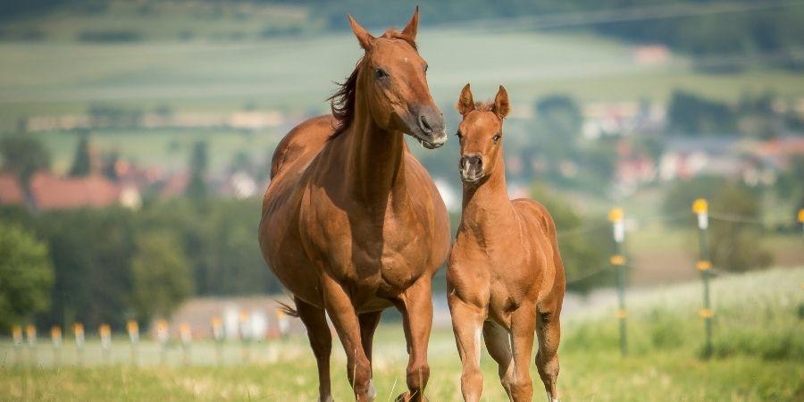 caracteristicas de los caballos cuartos millas
