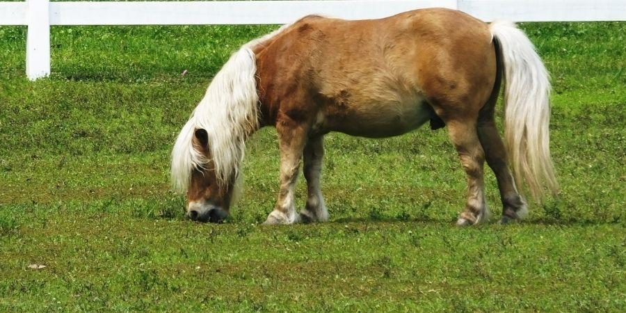 caracteristicas de los caballos miniaturas