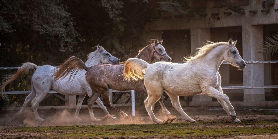 cuidados y recomendaciones para los caballos arabes