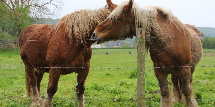 cuidados y recomendaciones de los caballos percherones