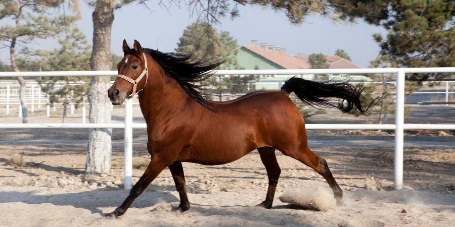 origen de los caballos garañones