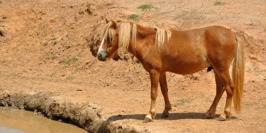 historia de los caballos miniaturas