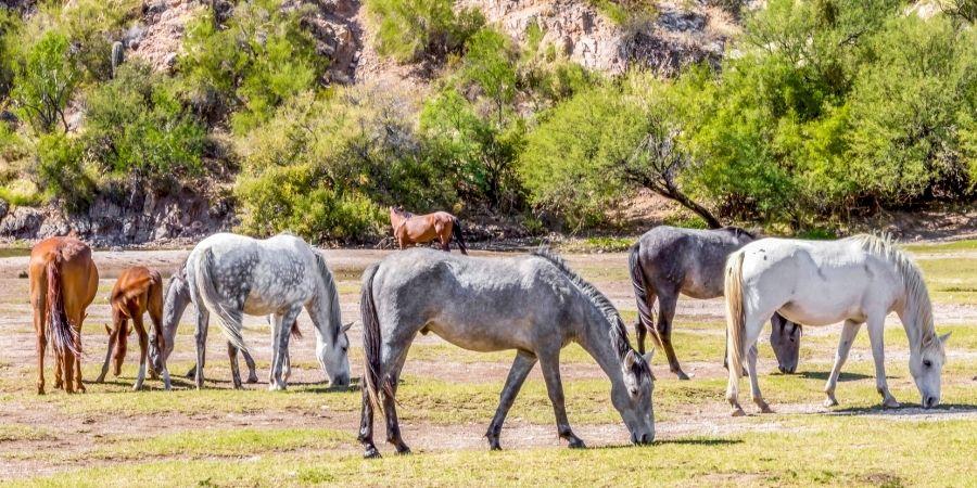 historia de los caballos mustang