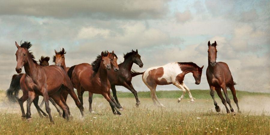 manada de caballos mustang