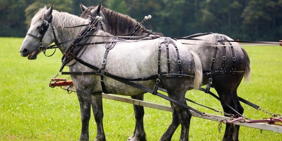 valor de los caballos percherones