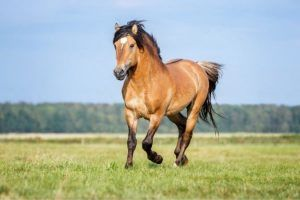 raza caballos bayos