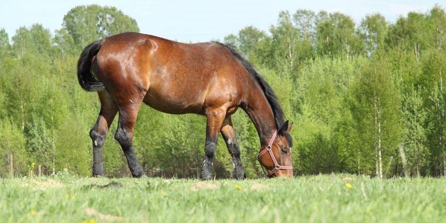 cuidados y alimentacion de caballos zainos